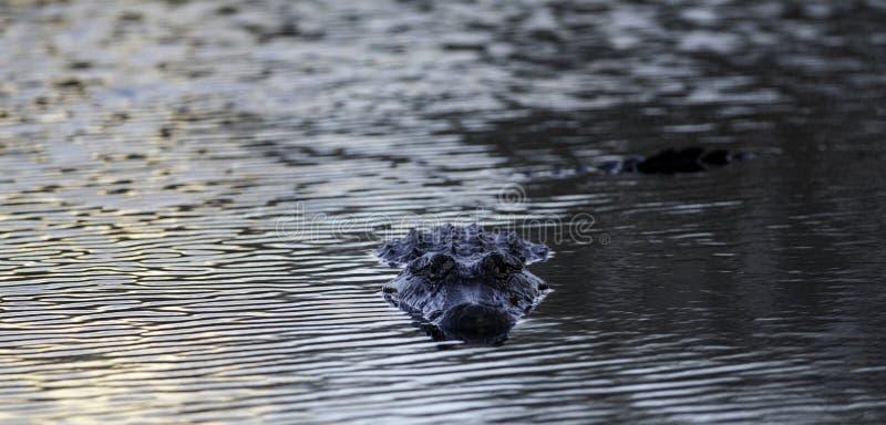 Аллигатор на парке штата загиба Brazos, Техасе, США стоковое изображение rf