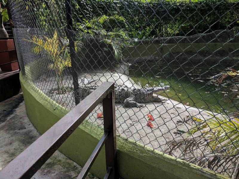 Аллигатор на Konoko падает животное святилище в Ямайке стоковые изображения