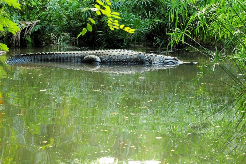 аллигатор огромный стоковое изображение rf