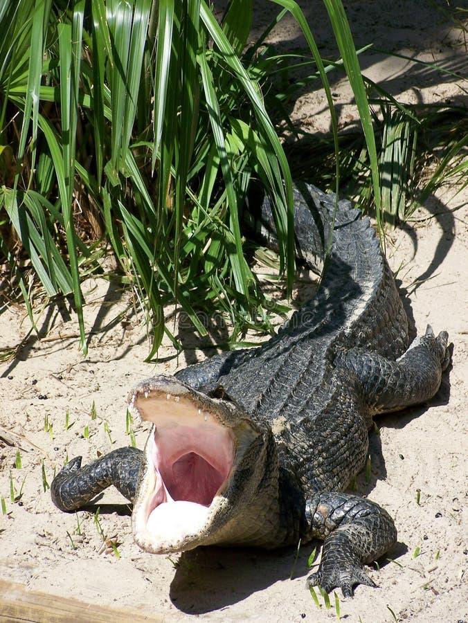 аллигатор опасный стоковое фото