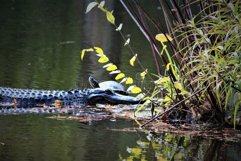 Аллигатор с черепахой стоковое фото