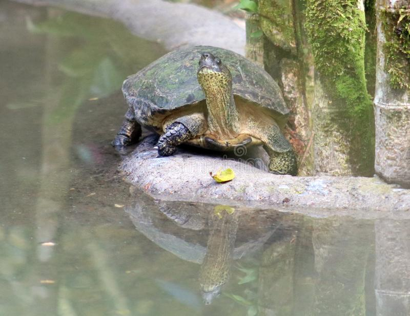 Аллигатор черепахи в Коста-Рика в джунглях стоковые изображения