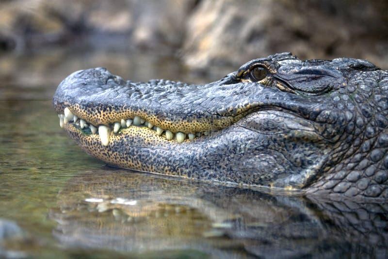 аллигатор стоковое изображение