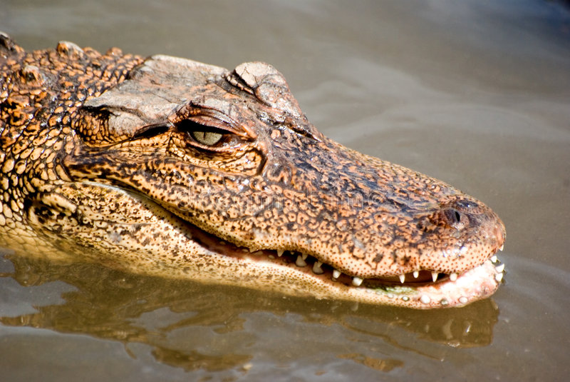 аллигатор стоковая фотография