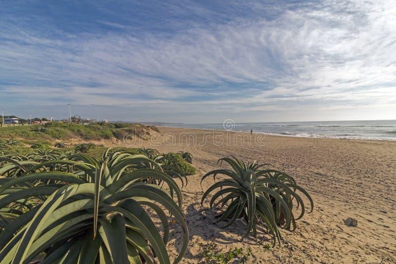 Алоэ вегетации дюны засаживает ландшафт голубого облачного неба прибрежный стоковое фото