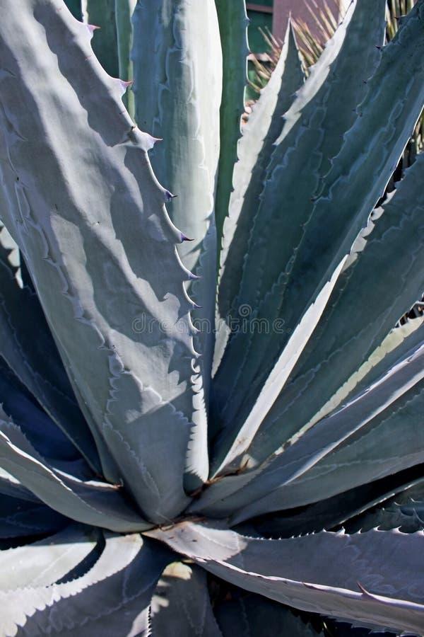Алоэ vera куст стоковое изображение rf