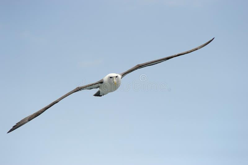 альбатрос застенчивый стоковое фото rf