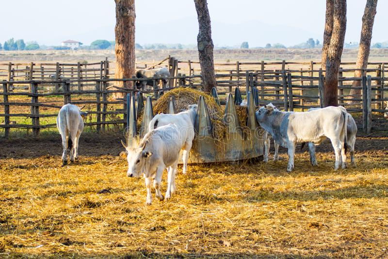 Альберезе Гр, Италия, коров в стране Маремма, Тоскане стоковое изображение