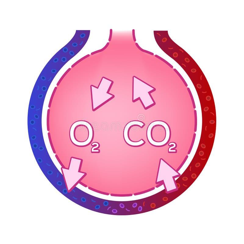 Альвеола в легкем Обмен газа Принципиальная схема анатомии бесплатная иллюстрация