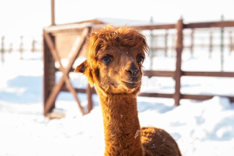Альпака Брауна выглядя прямым вперед - портретом коричневой альпаки на предпосылке снега стоковая фотография rf