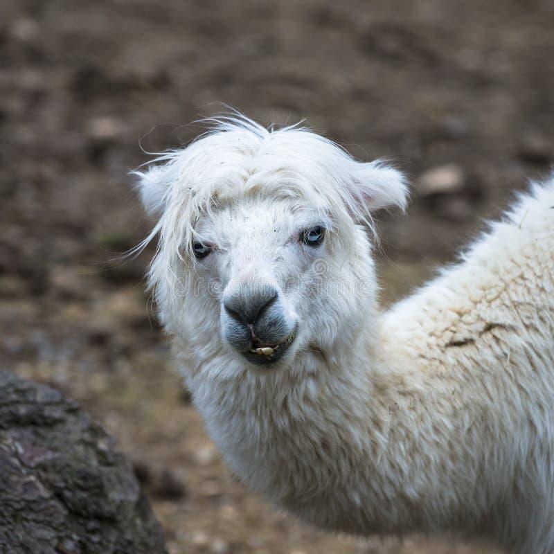 Альпака, лама стоковые фото