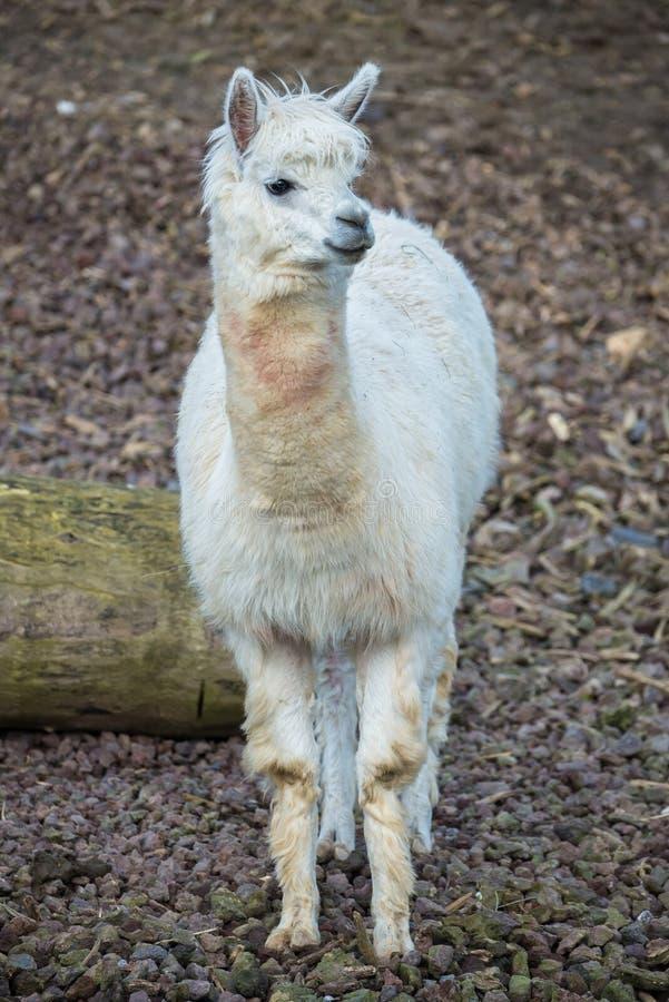 Альпака, лама стоковое фото rf