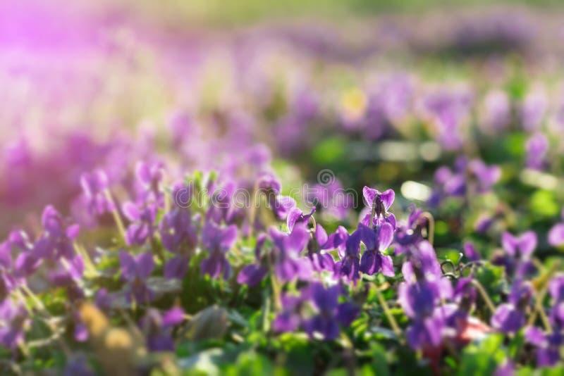 Альты в солнечном предыдущем саде весны стоковое изображение