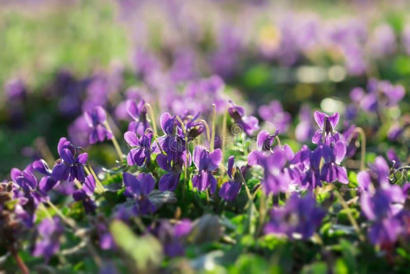 Альты в солнечном предыдущем саде весны стоковая фотография rf
