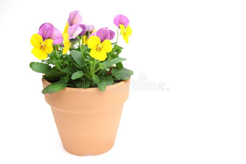 Альты в цветочном горшке стоковая фотография rf