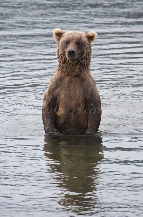 аляскский коричневый цвет медведя стоковая фотография rf