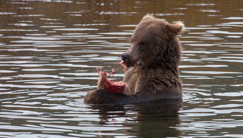 аляскский коричневый цвет медведя стоковое изображение