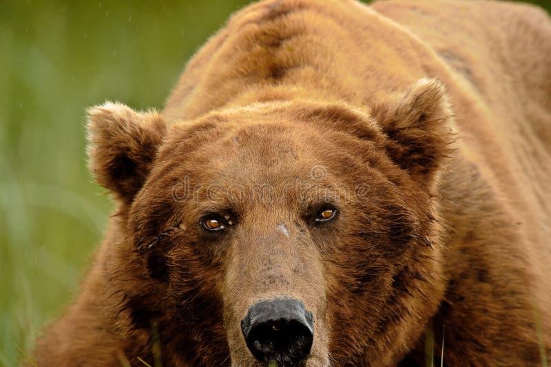 аляскский портрет гризли медведя стоковые изображения rf