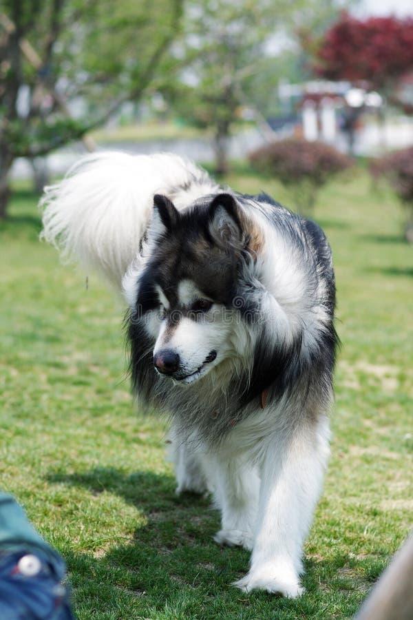 аляскский malamute собаки стоковая фотография