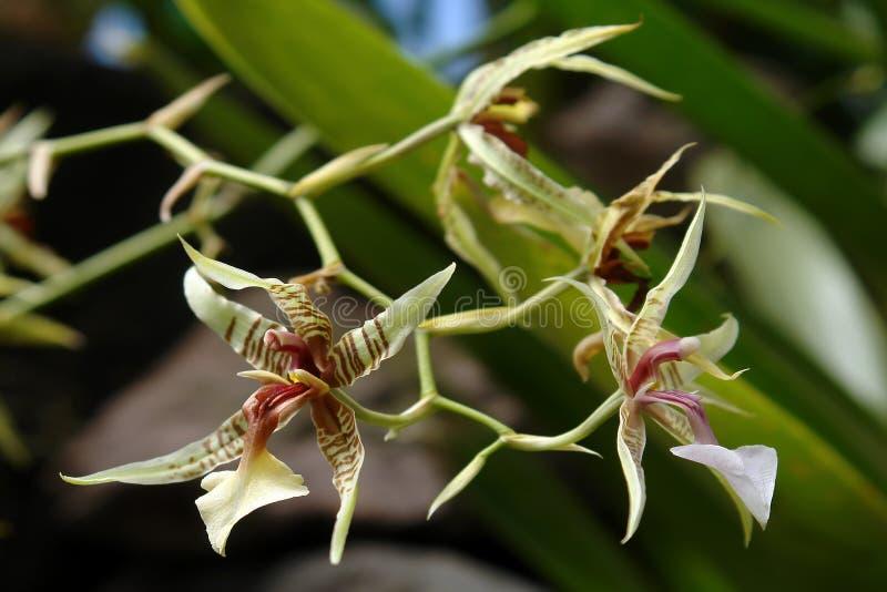 амазонская орхидея стоковые фото