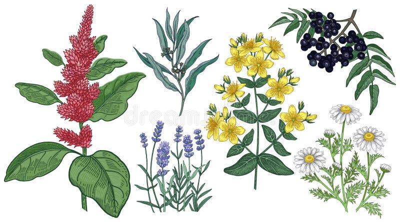 Амарант, St. John's wort, стоцвет, лаванда, эвкалипт и пробочка Амура дерево Установите медицинских трав бесплатная иллюстрация