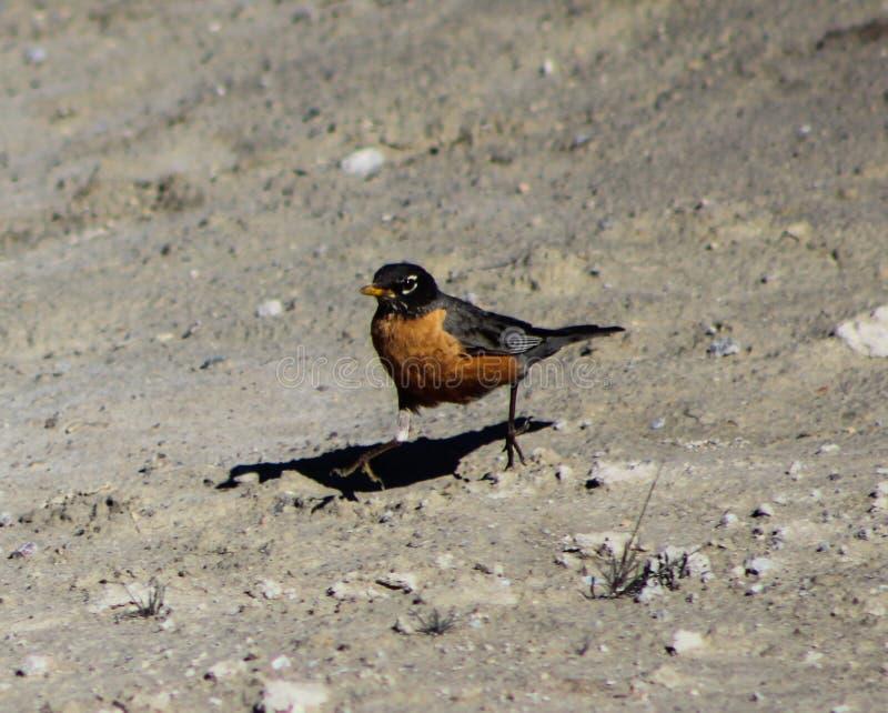 Американец Робин, национальный парк Йеллоустона стоковые фотографии rf