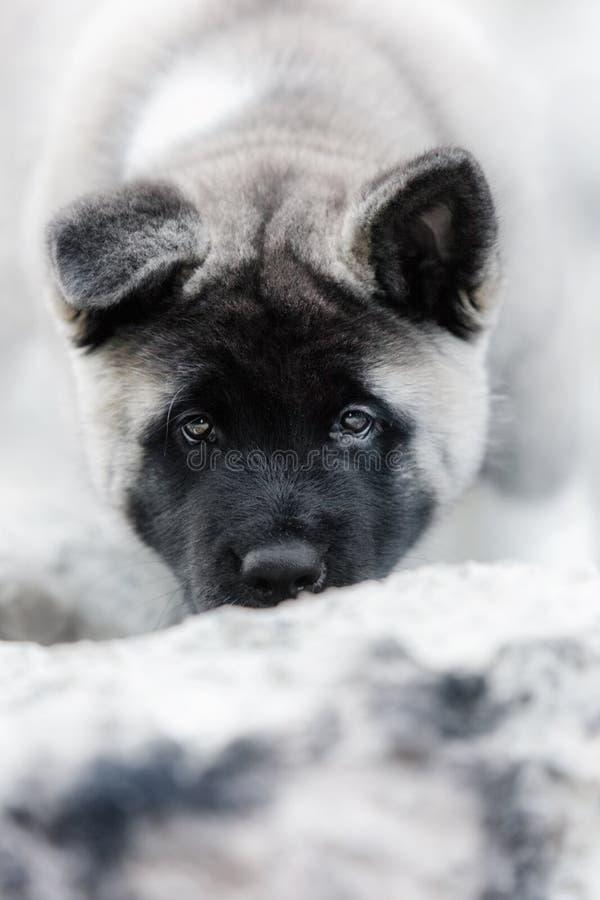 Американец akita щенка портрета чистоплеменный черный стоковая фотография