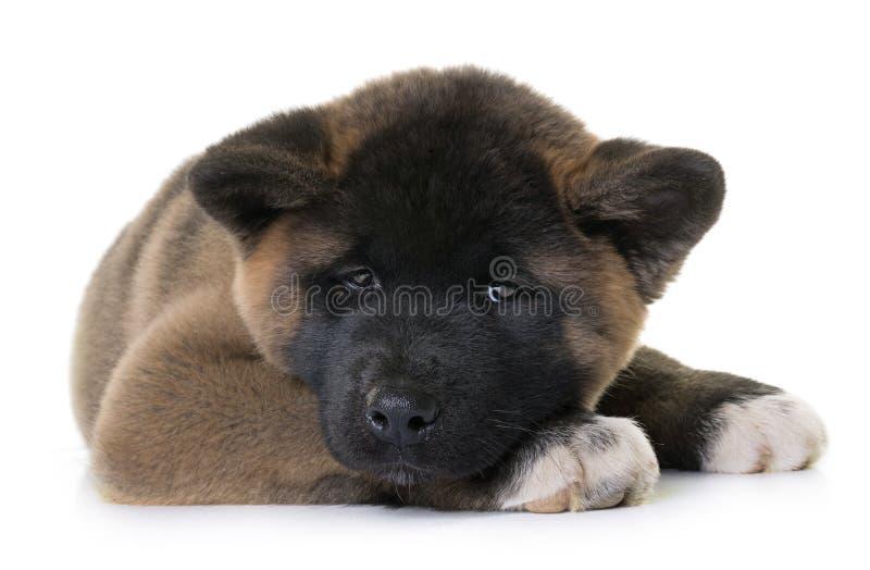 Американец akita щенка стоковое изображение