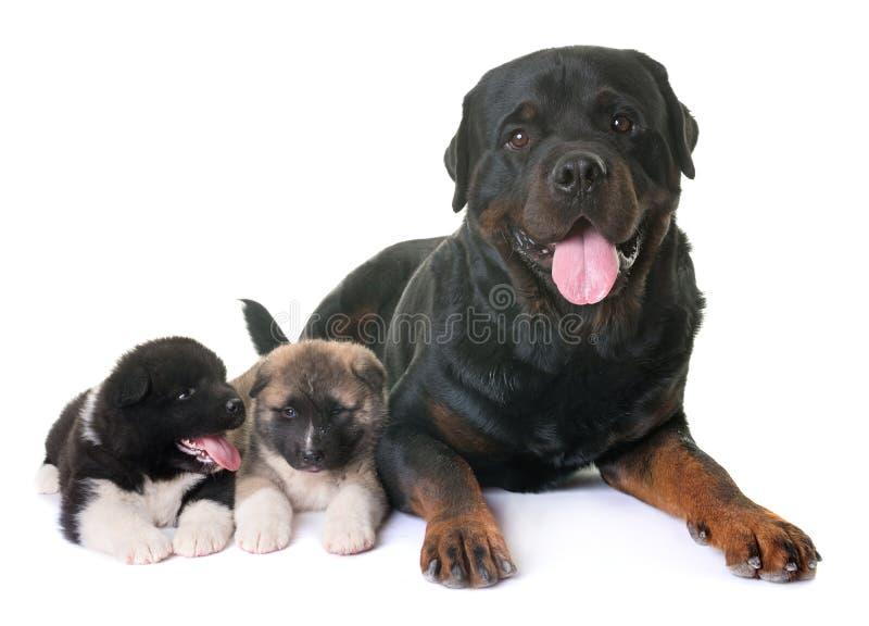 Американец akita щенят и rottweiler стоковые фото