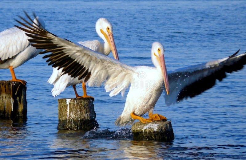 американская белизна пеликана посадки стоковая фотография