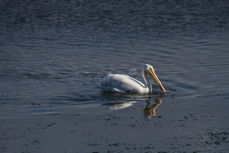 американская белизна пеликана стоковая фотография