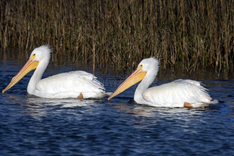 американская белизна пеликана стоковое изображение rf