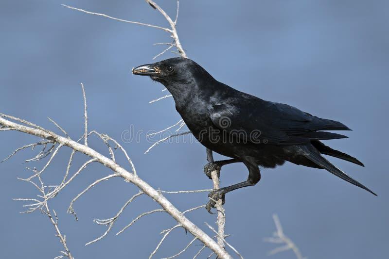 американская ворона стоковые фото