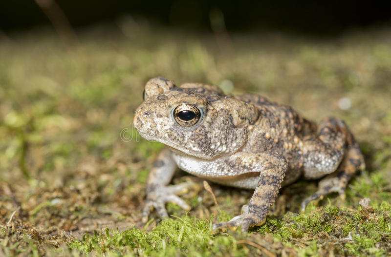 Американская жаба (Anaxyrus americanus) стоковое фото rf