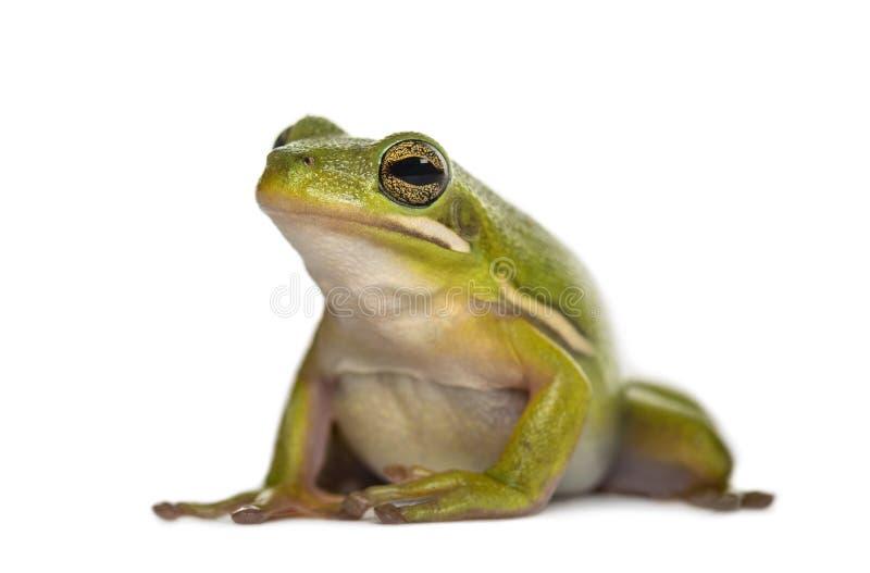 Американская зеленая древесная лягушка, стоковые изображения rf