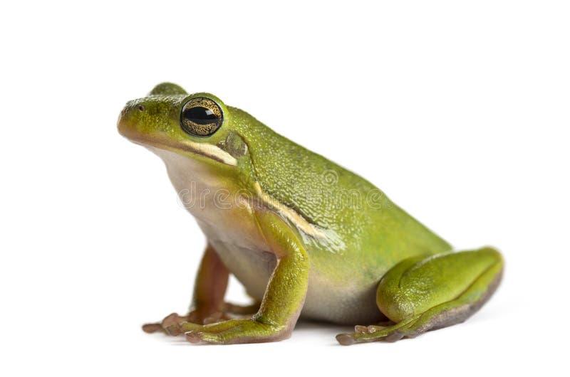 Американская зеленая изолированная древесная лягушка, стоковое фото rf