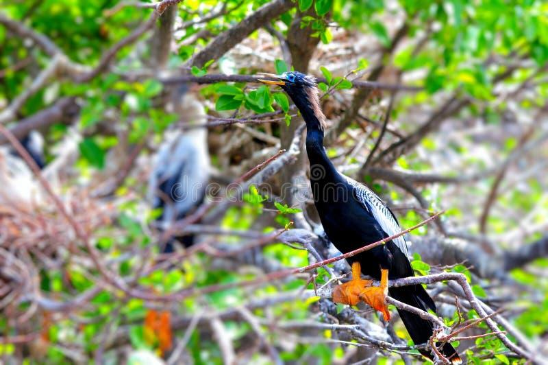 Американская змеешейка на ветви дерева стоковые фотографии rf