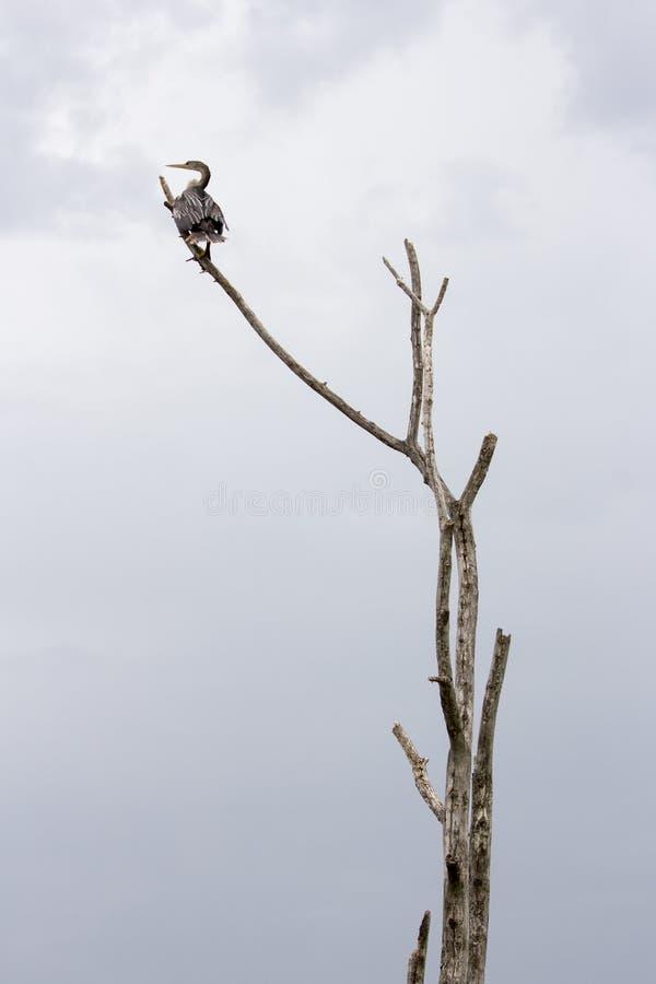 Американская змеешейка на ветви стоковое фото rf