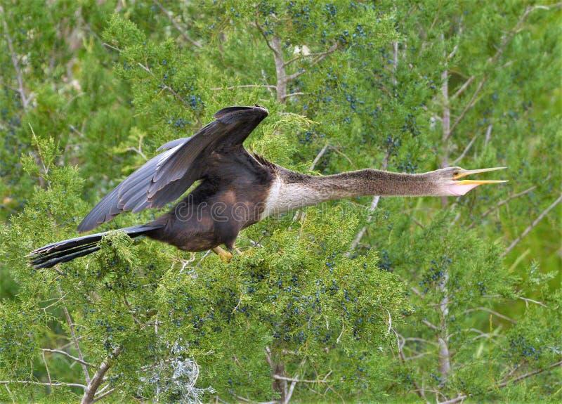 Американская змеешейка отдыхает на близрасположенных ветвях для того чтобы высушить свои крылья стоковое изображение rf