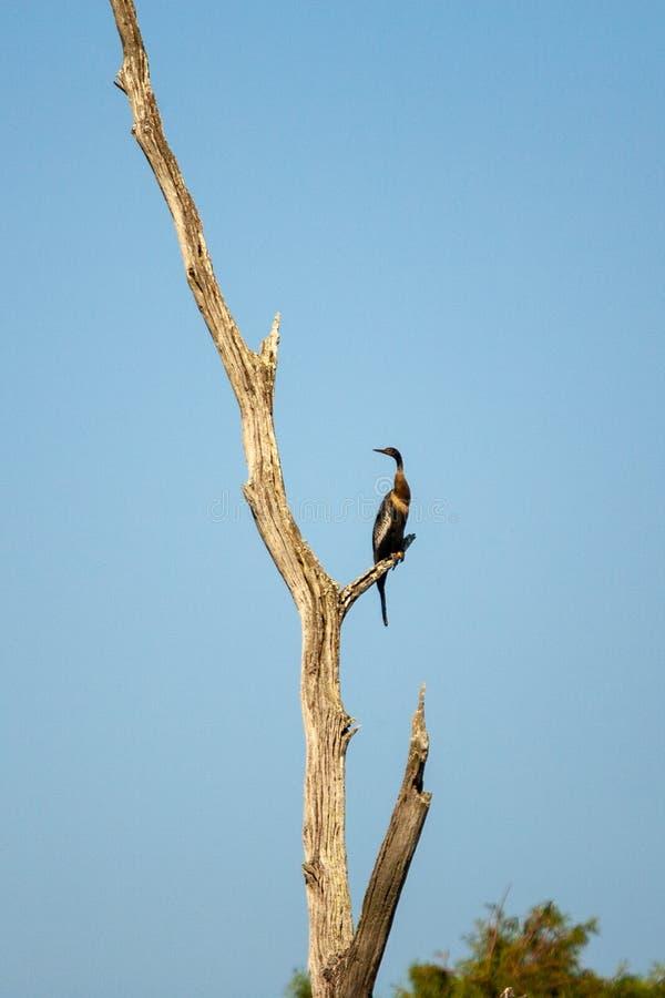 Американская змеешейка садить на насест на ветви мертвого дерева стоковая фотография rf