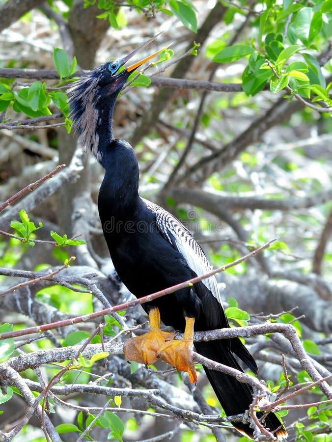 Американская змеешейка садить на насест на ветви дерева стоковые фото