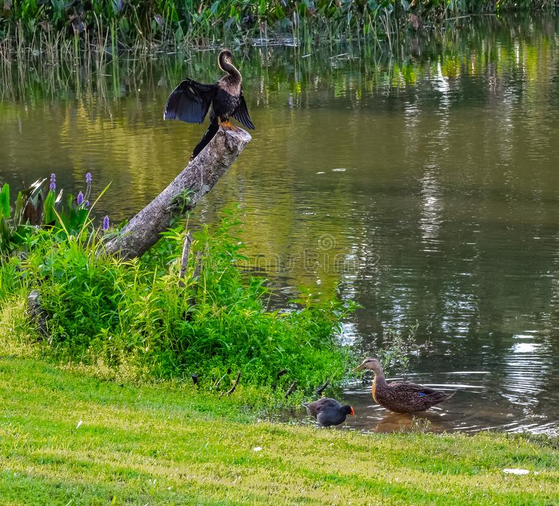 Американская змеешейка, утка и Gallinule стоковая фотография