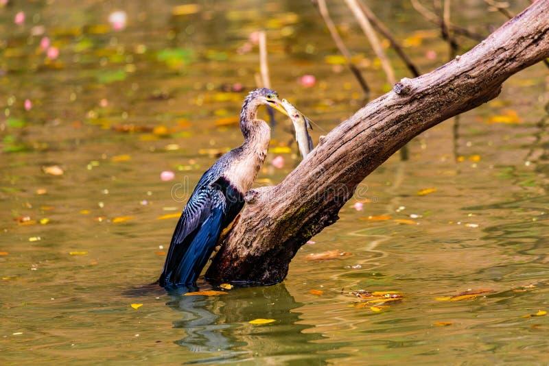 Американская змеешейка Spearfisher стоковые фотографии rf