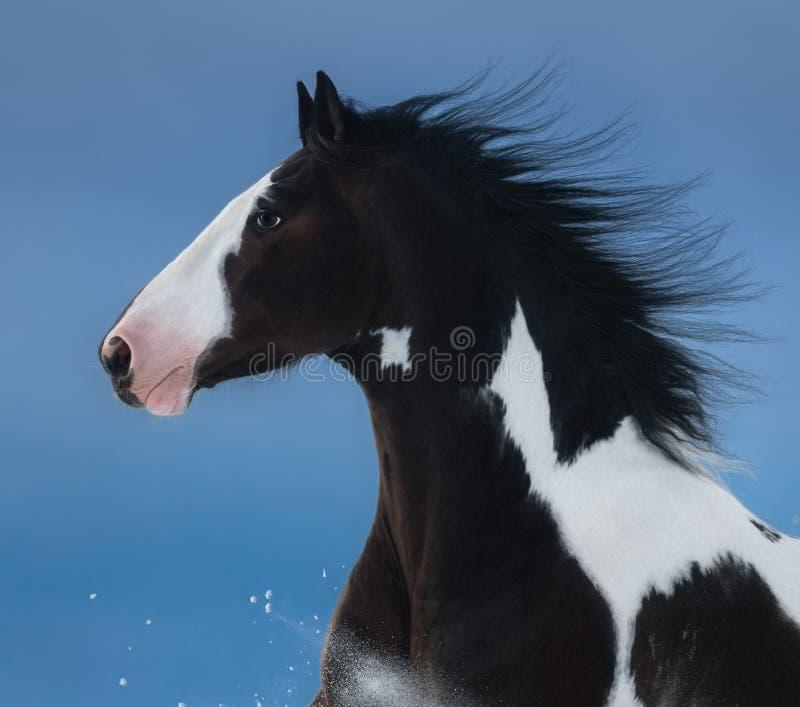 американская краска лошади Портрет на синей предпосылке стоковые фотографии rf