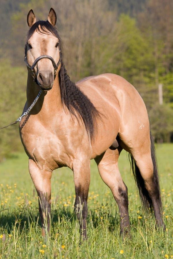 американская лошадь представляя квартального жеребца стоковые изображения rf