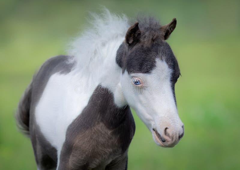 американская миниатюра лошади Портрет близкий вверх осленка пегой лошади стоковые фотографии rf