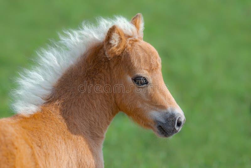 американская миниатюра лошади Портрет близкий вверх осленка palomino стоковое фото rf