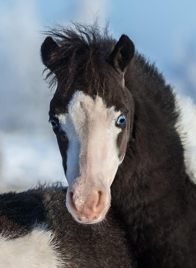 американская миниатюра лошади Осленок с голубыми глазами стоковое фото rf
