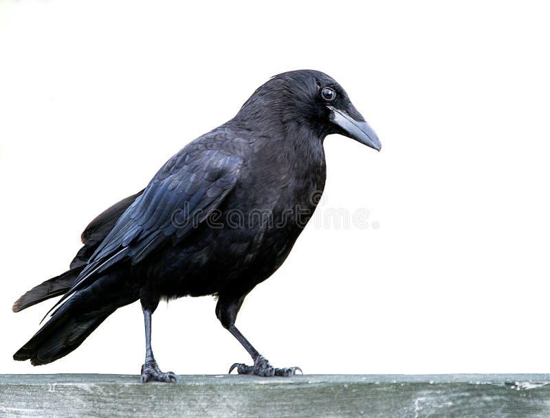 Американская черная ворона стоковая фотография rf