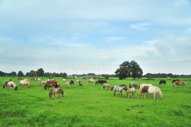 американские лошади миниые стоковые изображения rf